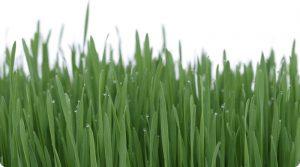 Saúde que brota do chão (grama do trigo)
